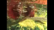 Betta splendens - Fighting and Mating