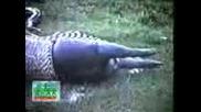 Змия повръща хипопотам