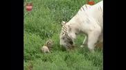 Тигрица с малките си