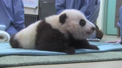 Панда прави първите си стъпки!