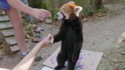 Червените панди рисуват | Тайните на зоопарка | NG Wild Bulgaria