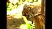 Маймуна се подиграва с тигри