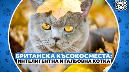 Британска късокосместа: интелигентна и гальовна котка