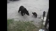Котка прогонва мечка от къща