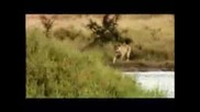 Зебра се опитва да удави лъв