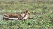 Уловът на грижовната майка гепард