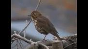 Пойна Птичка - British Song Thrush