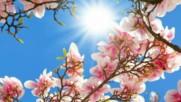 Първото цъфнало пролетно дърво - магнолията! ...