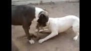 Pitbull ( rope fight)