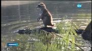 Енот се качи на гърба на алигатор