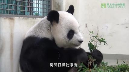 Панда внимателно взема бебето си , носи го като плюшено мече!