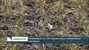 Невиждана от 30 години суша унищожава посевите