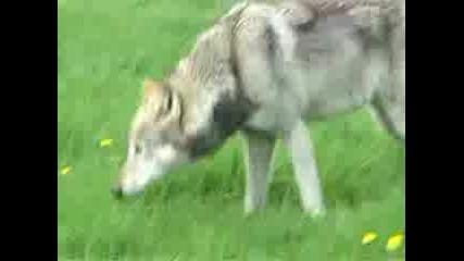 Вълкът.владетелят На Гората