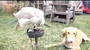 Дружелюбен сокол храни куче