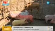 """""""Пълен абсурд"""": Цветни прасета се родиха в свинеферма"""