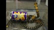 КОНТРАБАНДА: Пренасят кралски кобри в… кутийки от чипс