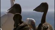 Прехраната на пеликаните.