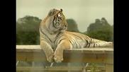 Бенгалски тигър отказва да слезе от съоръжение за игра