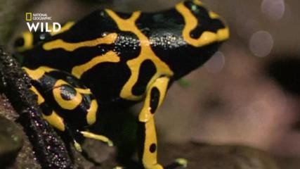 отровните жаби Дърволази