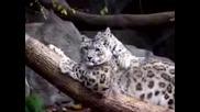 Красиви снежни леопарди си играят