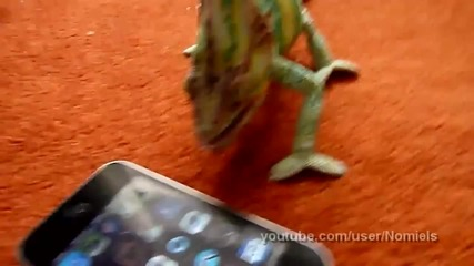 Смешен хамелеон се ужасява от i-phone (смях)