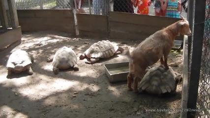 Глупаво козле се вози на костенурка!