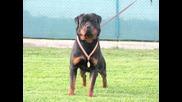 Ротвайлер - кучета