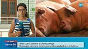 ЗАРАДИ ЧУМАТА: Евтаназираха десетки прасета в Тутраканци