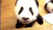 Пандааа,пандааа