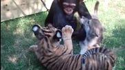 Бебета - Шимпанзе , Тигърчета и Вълче си играят