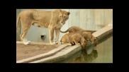 Лъвица си изигра шега с 1 си лъвче :)