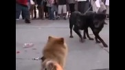 Dog Fighting at venice beach