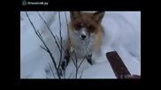 Много смях.•гладна Лисица яде сникърс.•лисиците харесват шоколад.