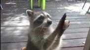 Умна миеща мечка чука на вратата, за да иска храна (ВИДЕО)