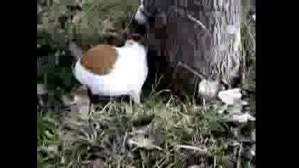 Куджо1 - Морско Свинче