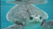 Man Gives Mouth-To-Mouth To Endangered Turtle, Saves Life