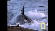 Косатка убиец срещу морски лъвове (тюлени)