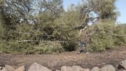 Italy: Thousand-year-old olive tree wiped out in fire blaze