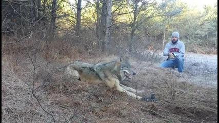 Ловец проявява хладнокръвност, освобождава озверял вълк, хванат в капан!