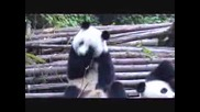 Panda Sneezing / Панда Киха