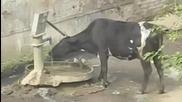 Умна крава знае как да утоли жаждата си!!