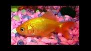Стефан - Мъжът и златната рибка