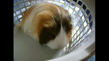 Моето Морско Свинче - Мими