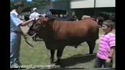 Не закачай бика където не трябва