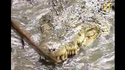 Кобра срещу крокодил.
