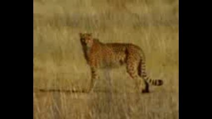 Гладен надпягва леопард хахаха