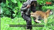 Бенгалски тигър - моя най - добър домашен любимец тежащ 178kg Хишник
