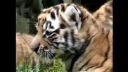 Тигърчета се радват на обществено внимание