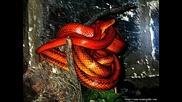 Snake$ - P.i.m.p