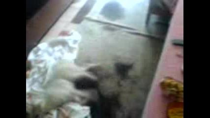 Кученце Се Бори С Чаршав